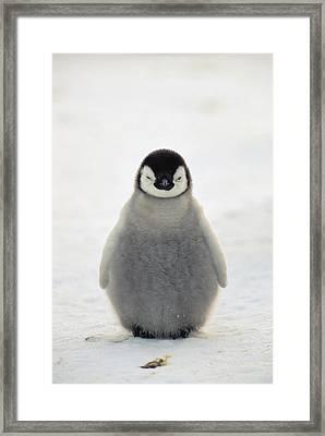 Emperor Penguin Aptenodytes Forsteri Framed Print by Konrad Wothe