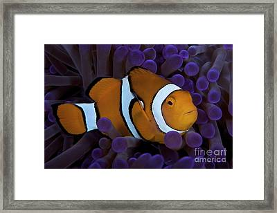 False Ocellaris Clownfish In Its Host Framed Print by Terry Moore