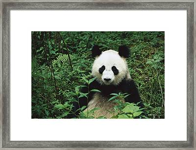 Giant Panda Ailuropoda Melanoleuca Framed Print by Cyril Ruoso