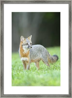 Grey Fox Framed Print by David Courtenay