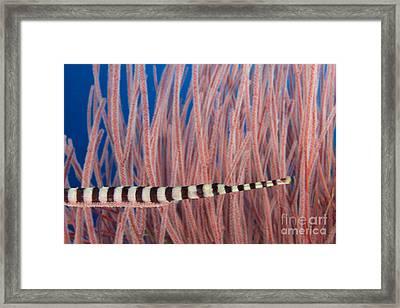 Malaysia, Marine Life Framed Print by Dave Fleetham - Printscapes