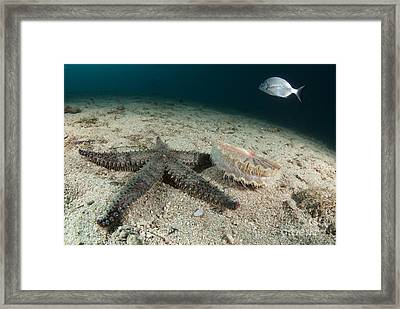Starfish Hunting A Scallop Framed Print by Angel Fitor