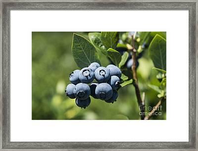 Blueberry Bush Framed Print by John Greim