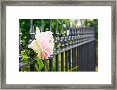 Rose Framed Print by Tom Gowanlock