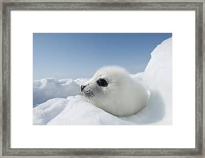 Whitecoat Harp Seal Pup Framed Print by Daisy Gilardini