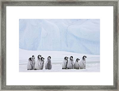 Emperor Penguin Chicks Framed Print by Jean-Louis Klein & Marie-Luce Hubert