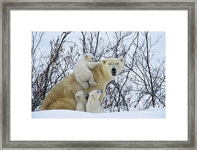 Polar Bear And Cubs Framed Print by Jean-Louis Klein and Marie-Luce Hubert
