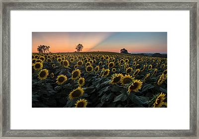 Sunflower Sunset Framed Print by Ryan Heffron