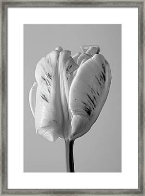 White Tulip Framed Print by Robert Ullmann