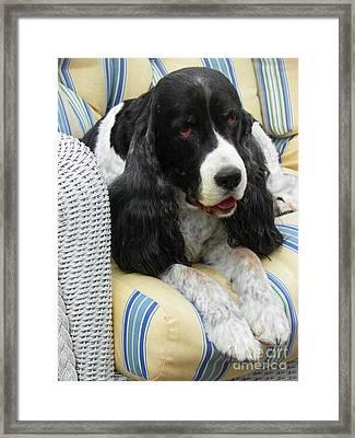 #940 D1033 Farmer Browns Springer Spaniel Framed Print by Robin Lee Mccarthy Photography