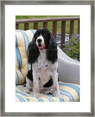 #940 D1034 Farmer Browns Springer Spaniel Framed Print by Robin Lee Mccarthy Photography