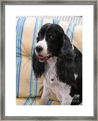 #940 D1043  Farmer Browns Springer Spaniel Smile Hidden Heart Framed Print by Robin Lee Mccarthy Photography