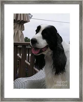#940 D1055 Farmer Browns Springer Spaniel Framed Print by Robin Lee Mccarthy Photography
