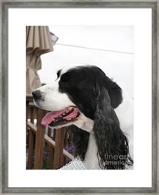 #940 D1058 Farmer Browns Springer Spaniel Framed Print by Robin Lee Mccarthy Photography