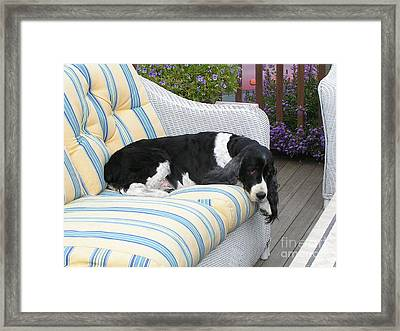 #940 D1061 Farmer Browns Springer Spaniel Framed Print by Robin Lee Mccarthy Photography