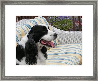 940 D1069 Farmer Browns Springer Spaniel Framed Print by Robin Lee Mccarthy Photography