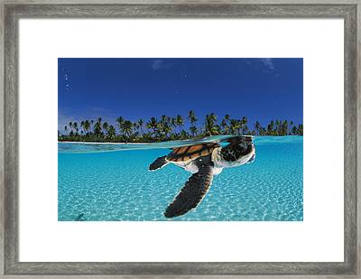 A Baby Green Sea Turtle Swimming Framed Print by David Doubilet