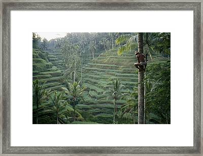 A Bahasa, Or Coconut Tree Climber Framed Print by Justin Guariglia