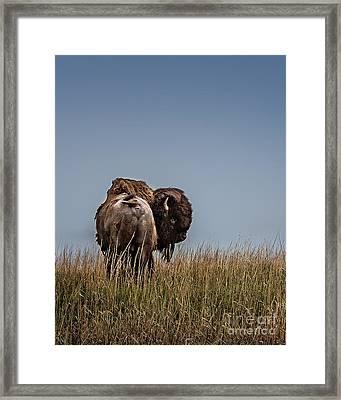 A Bison Interrupted II Framed Print by Tamyra Ayles