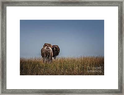 A Bison Interrupted Framed Print by Tamyra Ayles
