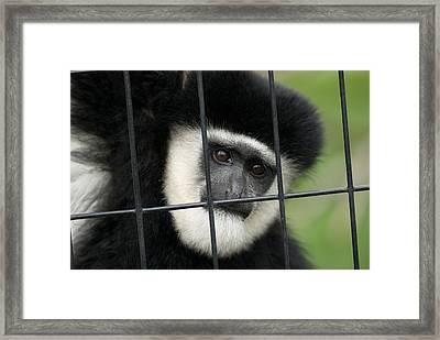 A Black And White Colobus Monkeys Framed Print by Joel Sartore