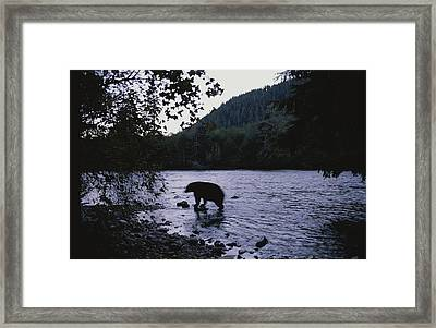 A Black Bear Searches For Sockeye Framed Print by Joel Sartore