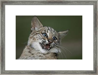 A Bobcat At A Wildlife Rescue Members Framed Print by Joel Sartore