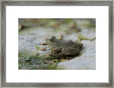 A Bullfrog At The Sunset Zoo Framed Print by Joel Sartore