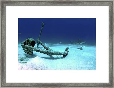 A Caribbean Reef Shark Swims Framed Print by Amanda Nicholls