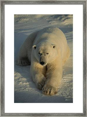 A Close View Of A Polar Bear Resting Framed Print by Tom Murphy