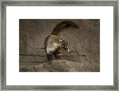 A Coatimundi At The Henry Doorly Zoo Framed Print by Joel Sartore