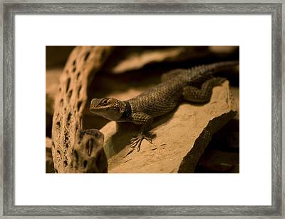 A Collard Lizard From The Henry Doorly Framed Print by Joel Sartore