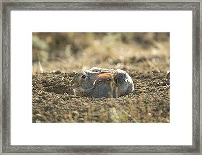 A Cottontail Rabbit At Charles M Framed Print by Joel Sartore