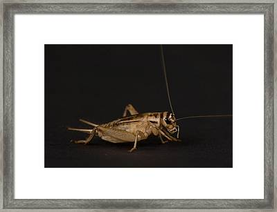 A Cricket At The Sunset Zoo Framed Print by Joel Sartore