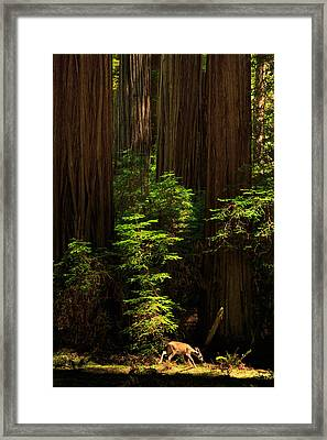 A Deer In The Redwoods Framed Print by James Eddy