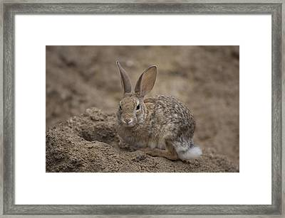 A Desert Cottontail Rabbit At The Henry Framed Print by Joel Sartore