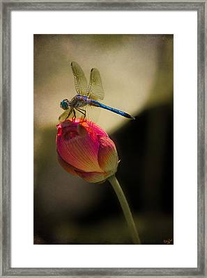 A Dragonfly Rests Momentarily On A Lotus Bud Framed Print by Chris Lord