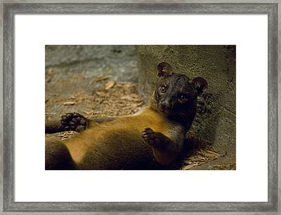 A Fossa From The Henry Doorly Zoos Framed Print by Joel Sartore