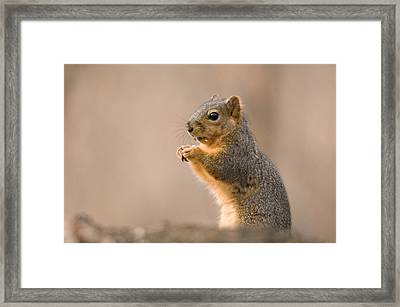 A Fox Squirrel Sciurus Niger Finds Framed Print by Joel Sartore