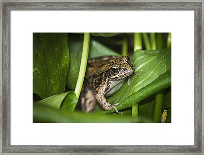 A Frog Perches On Wapato Leaves Framed Print by Robert L. Potts