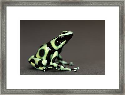 A Green And Black Poison Dart Frog Framed Print by Joel Sartore