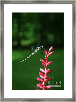 A Juicy Perch Framed Print by Skip Willits
