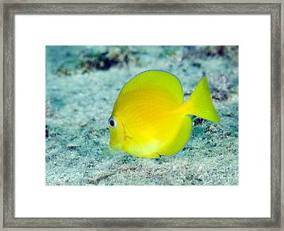 A Juvenile Blue Tang Searching Framed Print by Terry Moore