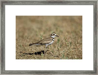 A Killdeer In Eastern Montana Framed Print by Joel Sartore