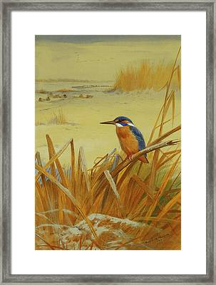 A Kingfisher Amongst Reeds In Winter Framed Print by Archibald Thorburn