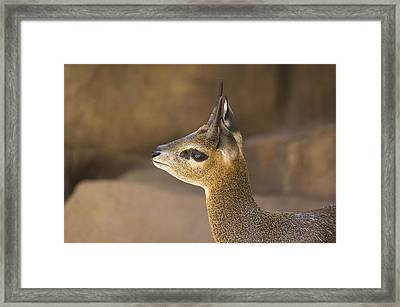 A Klipspringer At  The Henry Doorly Zoo Framed Print by Joel Sartore