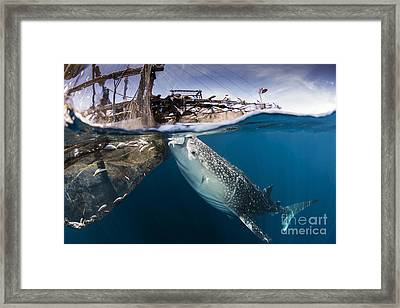 A Large Whale Shark Siphoning Water Framed Print by Mathieu Meur