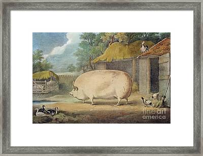 A Leicester Sow Framed Print by William Henry Davis