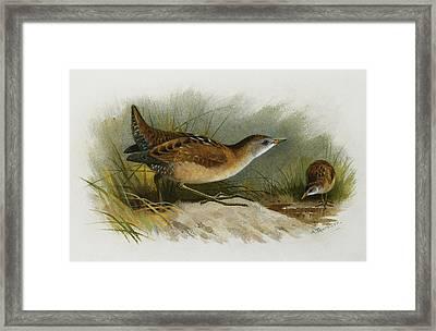 A Little Crake Framed Print by Archibald Thorburn