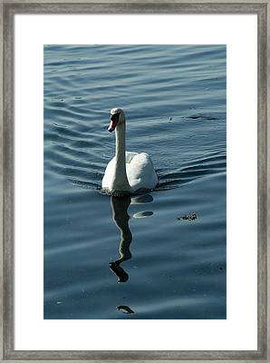 A Lone Swan Swims Through The Water Framed Print by Todd Gipstein